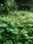 Fuki and dokudami garden