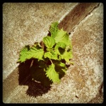 shiso in the crack