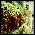 Blackberry wall